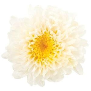 小菊 ミルフィーユ ホワイトイエロー 小分け 1輪入 マム プリザーブドフラワー 材料 花材 大地農園|solargift