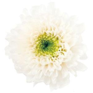 小菊 ミルフィーユ ホワイトグリーン 小分け 1輪入 菊 プリザーブドフラワー 花材 材料|solargift