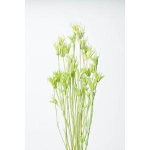 ニゲラオリエンタリス マスカットグリーン 小分け x1-oh-10380-741 大地農園|solargift
