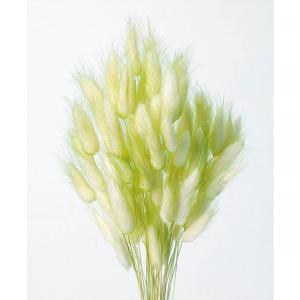 そらプリ ドライフラワー 花材 ラグラス ツートングリーン 小分け|solargift