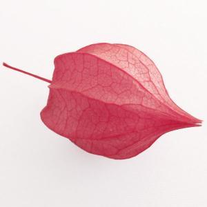 ほおずき ピンク 小分け 1輪入 プリザーブドフラワー 材料 花材|solargift