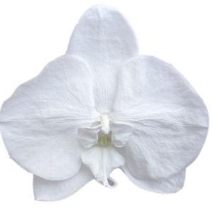 胡蝶蘭M ホワイト 小分け 1輪入 プリザーブドフラワー 材料 花材|solargift