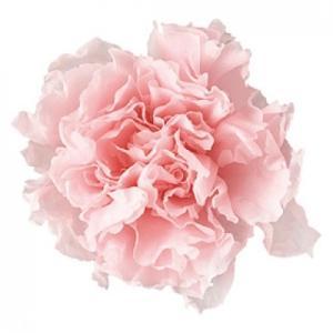 プリザーブドフラワー 花材 カーネーションミニ ベイビーピンク 小分け 1輪  リマヴェーラ solargift