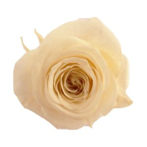 プリンセス ローズ シャンペーン 小分け 1輪入 プリザーブドフラワー 材料 花材|solargift
