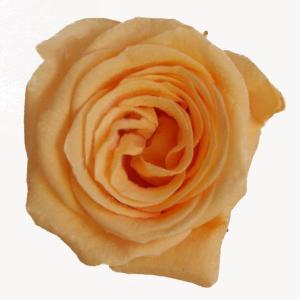 プリンセス ローズ ピーチ 小分け 1輪入 プリザーブドフラワー 花材|solargift