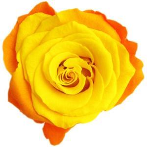 オールドジャノメ ローズ サフランオレンジ 小分け 1輪入 プリザーブドフラワー 花材 solargift