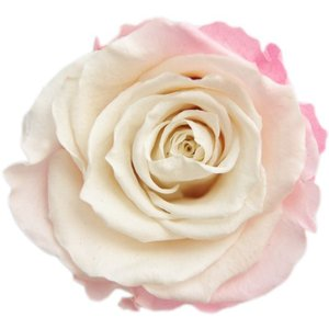 オールドジャノメ ローズ バニラピンク 小分け 1輪入 プリザーブドフラワー 花材 材料  solargift