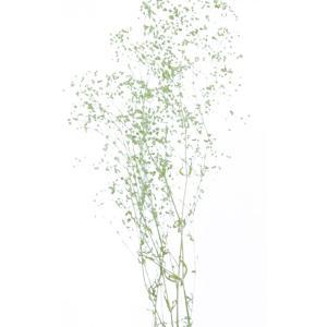 かすみ草 プリザーブドフラワー 花材 ソフトミニカスミソウ エンジェルグリーン 小分け そらプリ solargift
