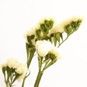 ソフトスターチス プリザーブドフラワー 材料 白 小分け プリザーブドフラワー 花材 小花 大地農園|solargift
