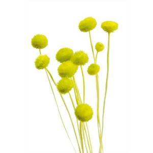 そらプリ ドライフラワー 花材 アマレリーフラワー グリーン 小分け|solargift