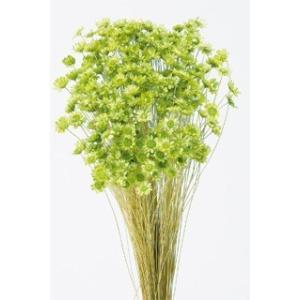 そらプリ ドライフラワー 花材 スターフラワー ブロッサム アップルグリーン 小分け|solargift