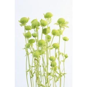 プリザーブドフラワー 材料 モナルダ ライムグリーン 小分け 大地農園花材|solargift
