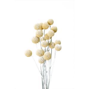 ビリーボタン サイズミックス ウォッシュホワイト 小分け 3本入 花材 材料 大地農園|solargift