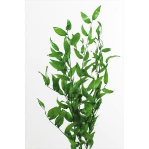 プリザーブドフラワー 花材 イタリアンルスカス グリーン 袋売り3本 大地農園|solargift
