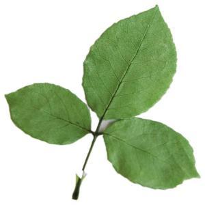 プリザーブドフラワー 材料 ローズリーフ グリーン 小分け 3枚入 葉 花材 大地農園 solargift