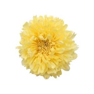 プリザーブドフラワー 花材 アスター イエロー 6輪 菊 フロールエバー|solargift