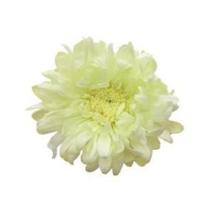 プリザーブドフラワー 花材 アスター シトラスグリーン 6輪 菊 フロールエバー|solargift