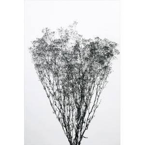 ソフトミニカスミソウ 黒ラメ 袋 約22g入 かすみ草 大地農園材料 花材|solargift