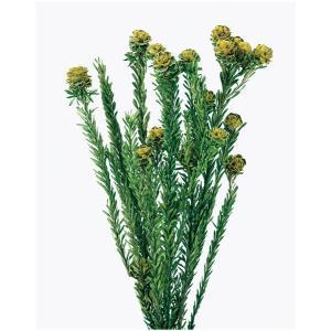 プリザーブドフラワー ハーバリウム 材料 トータムフィーメイル イエロー 袋 約55g 入 大地農園 花材|solargift