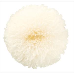 プリザーブドフラワー 花材 菊 ポンポン菊 ミディー 白 箱 9輪 大地農園 solargift