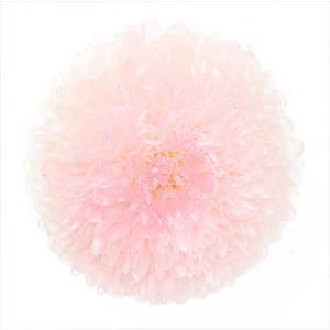 プリザーブドフラワー 花材 菊 ピンポンマム ミディー ホワイトピンク 箱 9輪入 大地農園 solargift