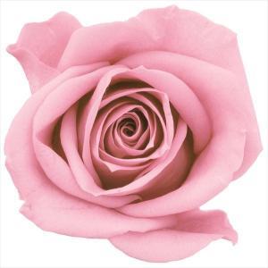 プリザーブドフラワー 花材 ミミローズ クリスタルピンク 9輪 バラ 大地農園 solargift