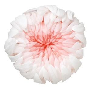 プリザーブドフラワー 材料 輪菊ミルフィーユ ホワイトピンク 箱 6輪入 マム 菊 プリザーブドフラワー 花材 大地農園|solargift