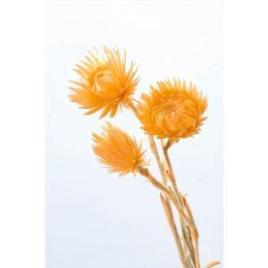 大地農園 ドライフラワー ミニシルバーデージー アプリコット 約25g|solargift