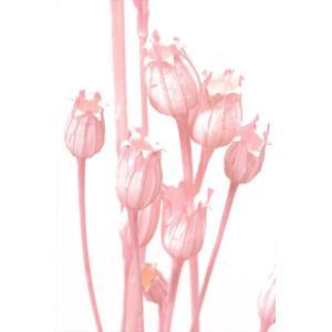 ドライフラワー 花材 フローレンティナ ピンク 袋 約50本 大地農園|solargift
