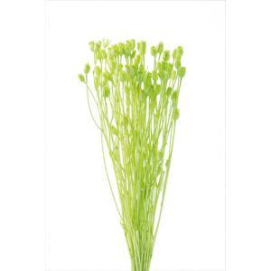 ドライフラワー 花材 フローレンティナ グリーン 袋 約50本入 大地農園|solargift