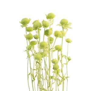 プリザーブドフラワー 材料 モナルダ ライムグリーン 袋 約15g入 大地農園花材|solargift