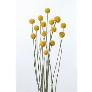 ビリーボタン サイズミックス ナチュラル 袋 約25g入 花材 材料 大地農園|solargift