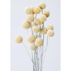 ビリーボタン サイズミックス ウォッシュホワイト 袋 約25g入 花材 材料 大地農園|solargift