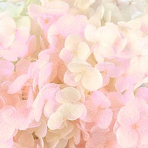 種類:プリザーブドフラワー 商品名:アジサイアナベル 色:ピンクフロート  商品コード:so-lp-...