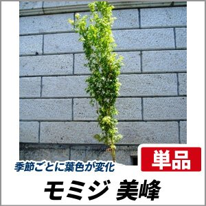 モミジ 美峰(ビホウ) 樹高1.8〜2.0m前後(根鉢含まず) 単品