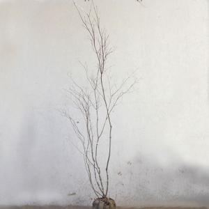ハウチワカエデ 株立ち 樹高1.8〜2.0m前後 (根鉢含まず)