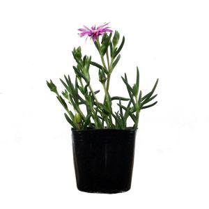 【ランキング入賞!】  葉の形が松葉の様に棒状で花の形が菊に似ていることから「マツバギク(松葉菊)」...