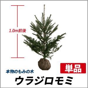 もみの木 (ウラジロモミ) 樹高1.0〜1.2m前後 (根鉢...