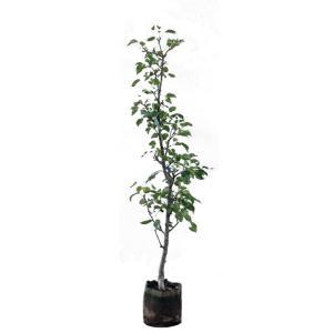 ナシ 二十世紀 樹高1.8〜2.0m前後 (根鉢含まず) 果...