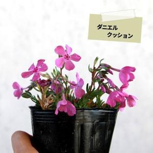 シバザクラ 芝桜 25ポットセット