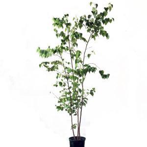 シラカバ 株立ち 樹高2.0m前後 (根鉢含まず)