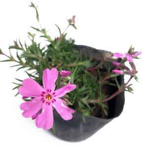 芝桜 シバザクラ 花色ミックス 25ポットセット