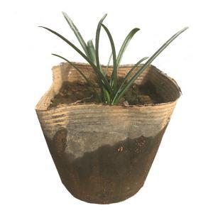 ヒガンバナ 10ポットセット 球根植物 庭植え 鉢植え