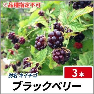 ブラックベリー (品種指定不可) ポット苗 3本セット