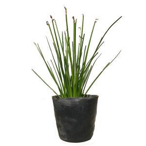 タマスダレ 24ポットセット 球根植物 春植え