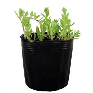 ツルマンネングサは、道路の石垣や道端でもよく見かける多肉植物です。 中国・朝鮮半島原産で、日本には帰...