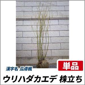 ウリハダカエデ 株立ち 樹高2.5m前後 (根鉢含まず)