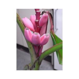 SONIA(ソニア) ピンクのバナナの種 10粒|sonia
