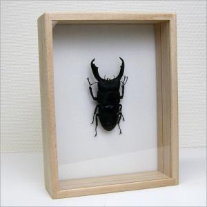 虫の標本 オオヒラタクワガタ Dorcus titanus 桐箱