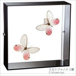 蝶の標本 スカシジャノメ Cithaerias 2頭 タテハチョウ アクリルフレーム 黒